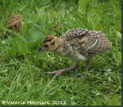 11 baby-pheasant (2)