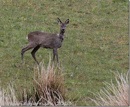 roe-deer-2