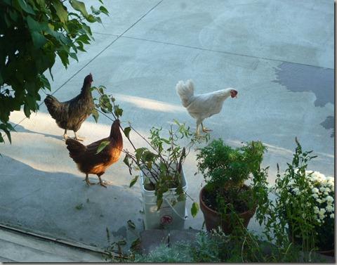 chicks 038