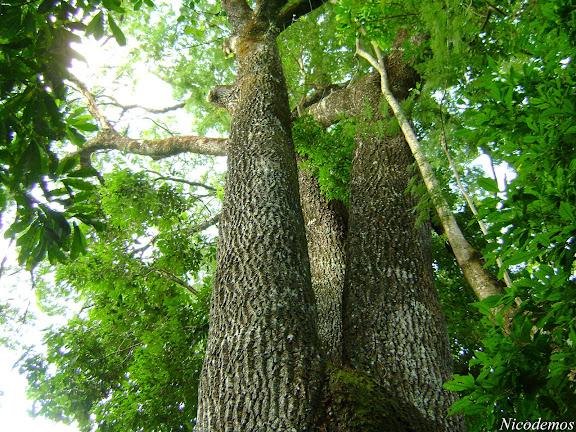 Grande Jequitibá, árvores nativas da Mata Atlântica. Pitangui (MG, Brésil), 30 avril 2009. Photo : Nicodemos Rosa