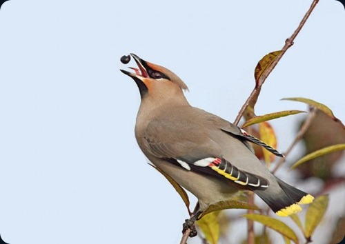 Amazing Beauty of Waxwing Birds9