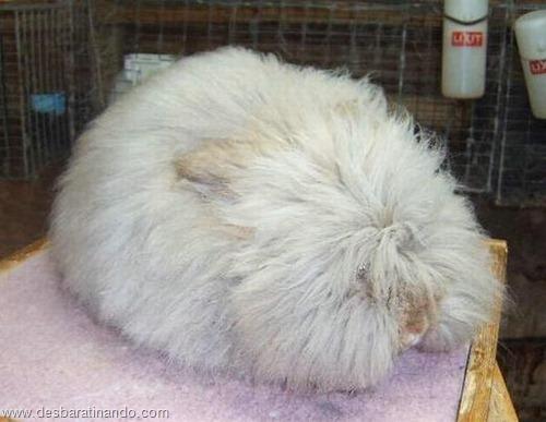 coelho angora peludo desbaratinando (18)