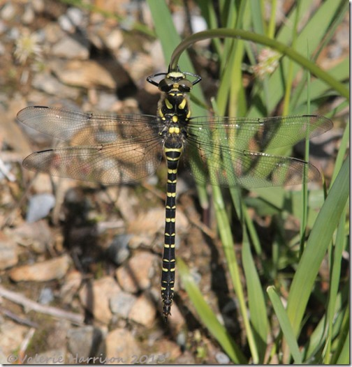 16-golden-ringed-dragonfly
