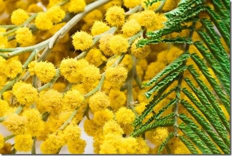 8 martie-ziua femeii-mimoze