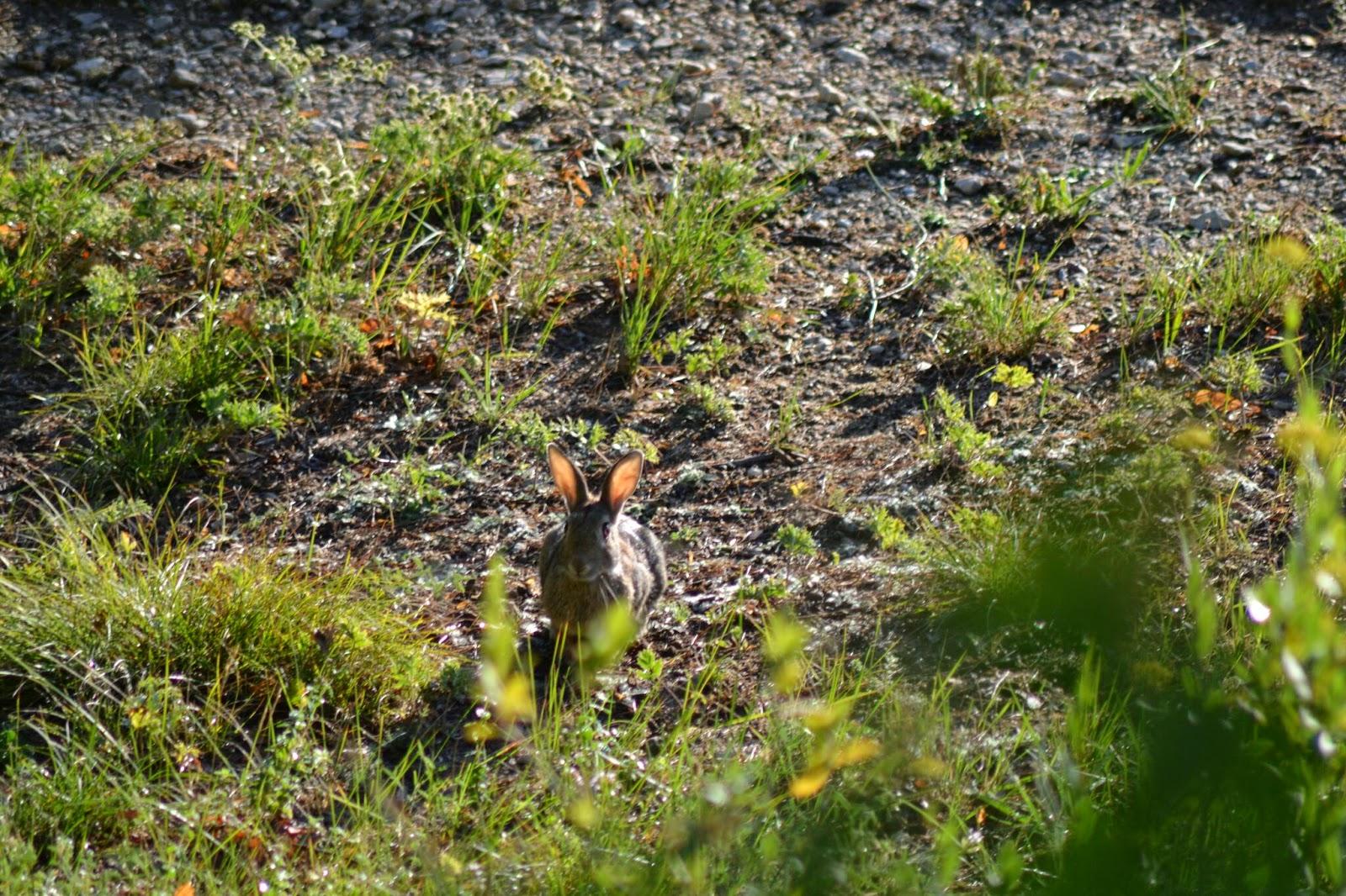 Les echos du talagard entra nement de cirka aux lapins - Cuisiner le lapin de garenne ...