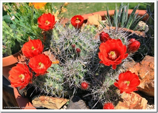 150414_Echinocereus-triglochidiatus_008
