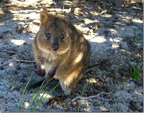 Quokka O animal mais feliz do mundo (9)