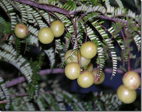 Phyllanthus emblica 1