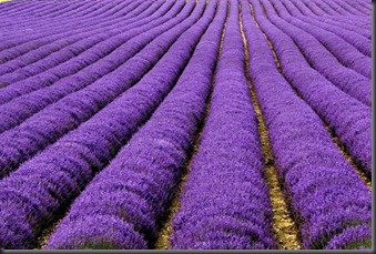 Lavender Fields, UK dan Prancis
