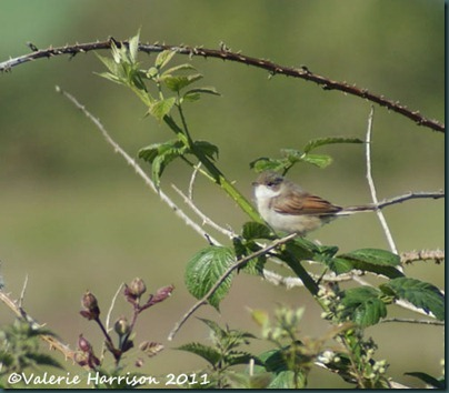 8-whitethroat