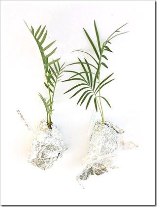 110212_Encephalartos-Longifolius-x-Horridus- -Cycas-panzhihuaensis_02