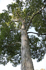 The shagbark is the most common type of hickory tree in eastern United States and also one of the fastest growing—they can grow more than 100-feet tall!  The wood makes great ax handles and baseball bats.