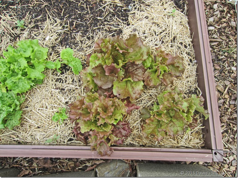 lettuce_1