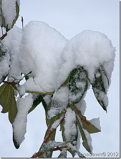 Rhododendron_Snow_Dec292012