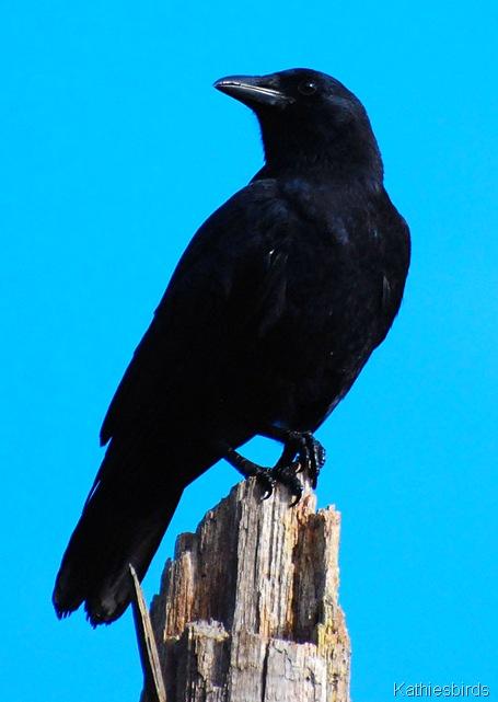 10. crow-kab
