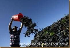 Высокие урожаи винограда