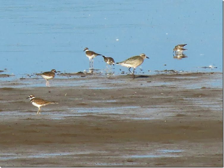 Mixed shorebirds 2