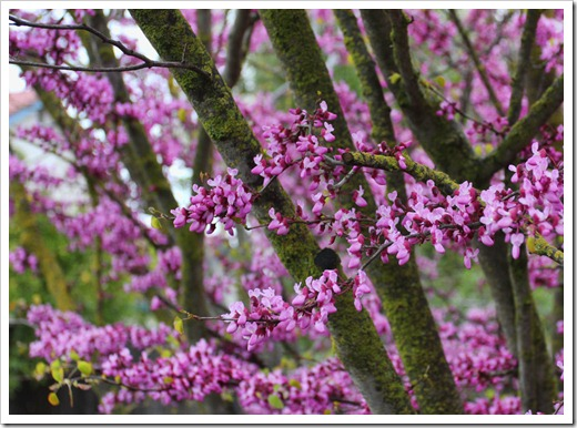 120313_Cercis-occidentalis_13