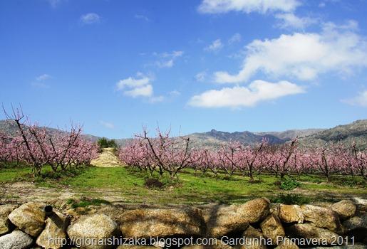 Gardunha - flor de cerejeira 5
