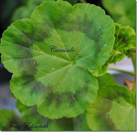 Pelargonium 16 juni -14 064