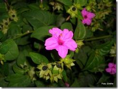 Ukjent blomst