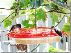 lopez hummingbird 071211 00003
