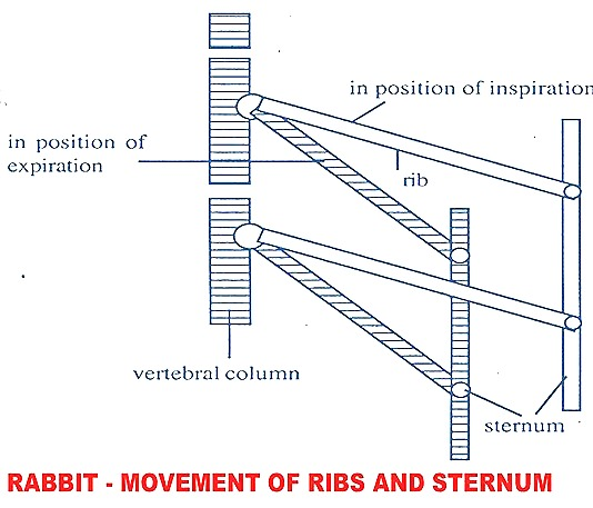 ribs-movement-repiration-rabbit