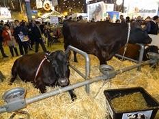 2015.02.26-081 vache rouge flamande