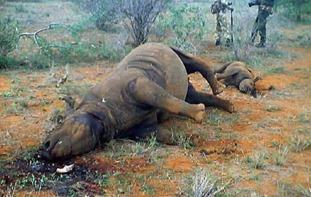 poached rhino xgold