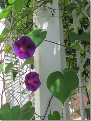 Orchid Morning Glories