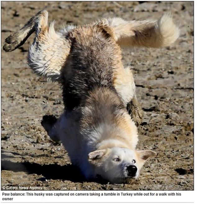 Cachorro tropeça por comida