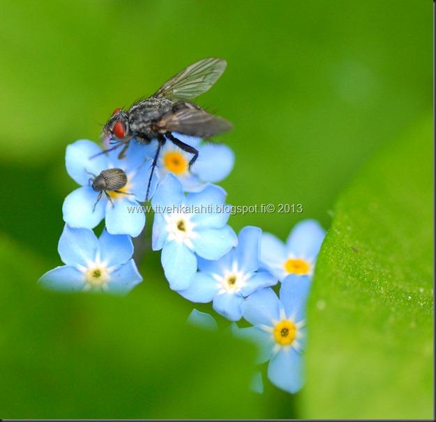 pikkutukkikärsäkkäästä (Hylobius pinastri)  muita hyönteisä 102