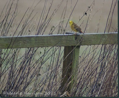 41-yellowhammer