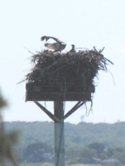 cape cod 6.12 greys beach 2osprey on nest