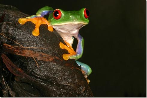 Agalychnis%20callidryas,%20Red-eyed%20Tree%20Frog,%20Gerry%20Marantelli,%20www_frogs_org_au