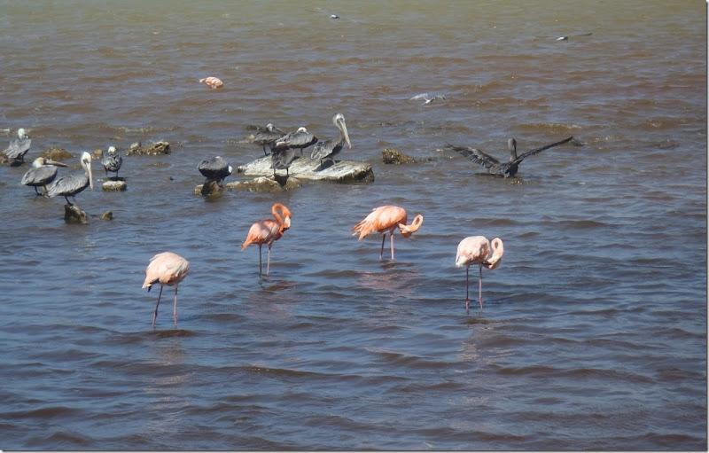 022l flamingos u pelikane