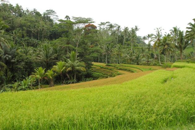 Paddy fields next to Gunung Kawi, Ubud, Bali, Indonesia