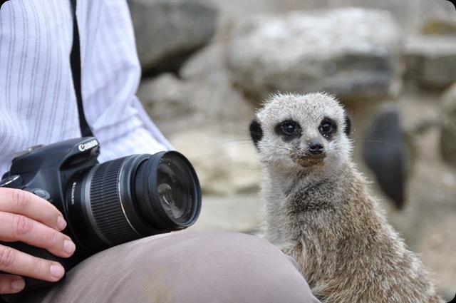 Meerkat next to Rachel DSC_0654
