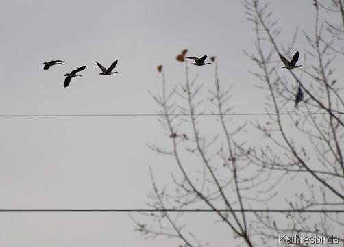 8. geese-kab