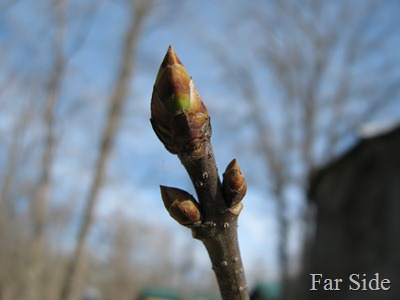 Buds on my lilac April 6 2012