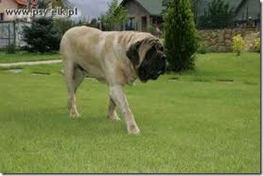 Mastif