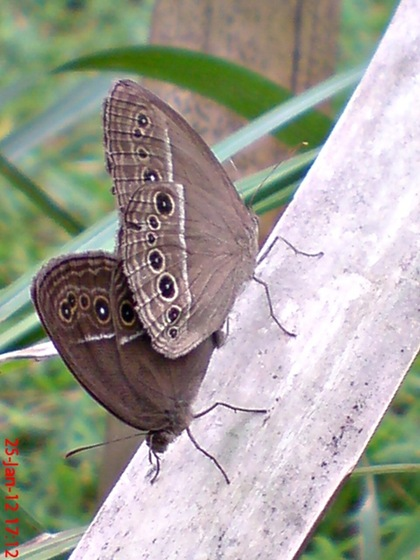 kupu-kupu Mycalesis perseus kawin_3