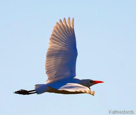 1. DSC_0204 cattle egret-kab