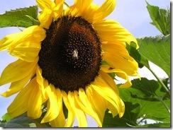 včely na květu a matečniky 197