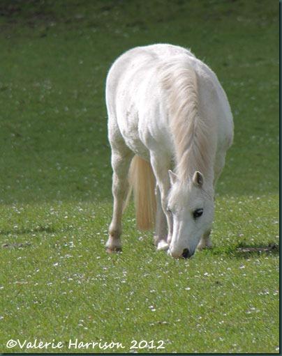 13-white-horse