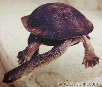 Rote-Island-Snake-necked-Turtle-Chelodina-mccordi
