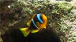 Biodiversité poisson clown à deux bandes