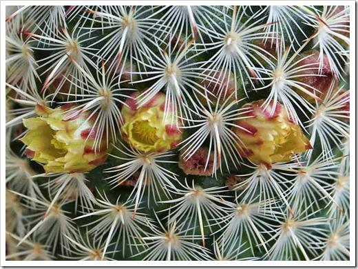 120226_Mammillaria-microhelia gracilis huitzilopochtli crinita Thelocactus-rinconensis-freudenbergii Escobaria-sneedii-12