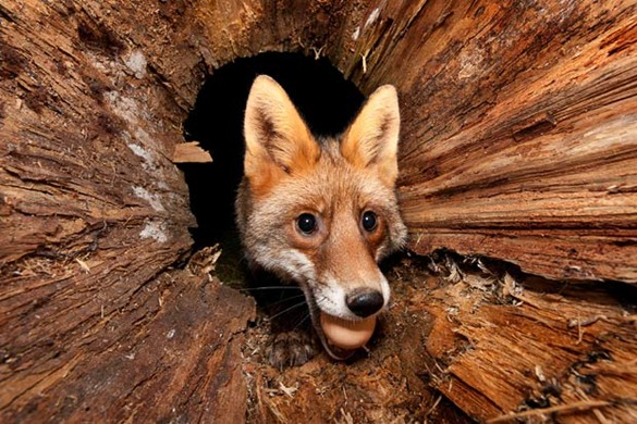 fox-egg_1923287i