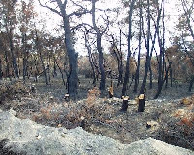 ΣΥΡΙΖΑ Παλικής: Ποιος κόβει τα πευκόδεντρα στο κτήμα Τυπάλδου;
